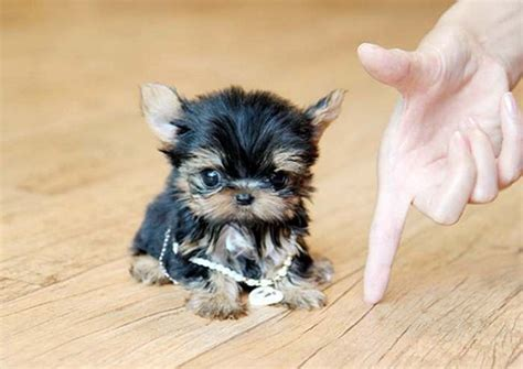 tea cup yorkie puppies for sale 25 best ideas about small puppies for sale on cutest small dogs pics of