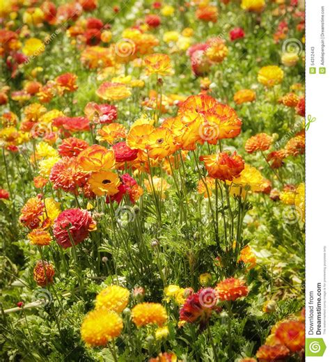 colorful flowers picture orange flowers in bloom light colorful flower fields southern california stock photo