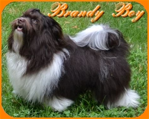 havanese barking problem havanese breeder dandy warrior havanese dogs havanese overview