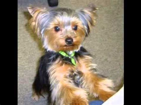 best haircut for a chorkie yorkie hair cuts youtube