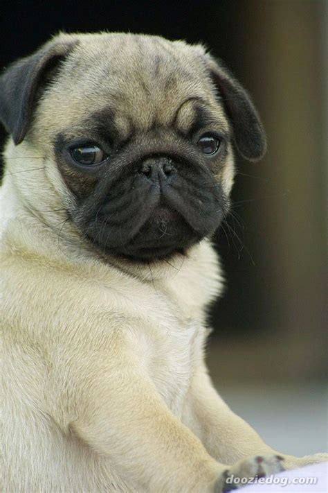pug puppies price pug puppies for sale prasanth 1 12403 dogs for sale price of puppies dogspot in
