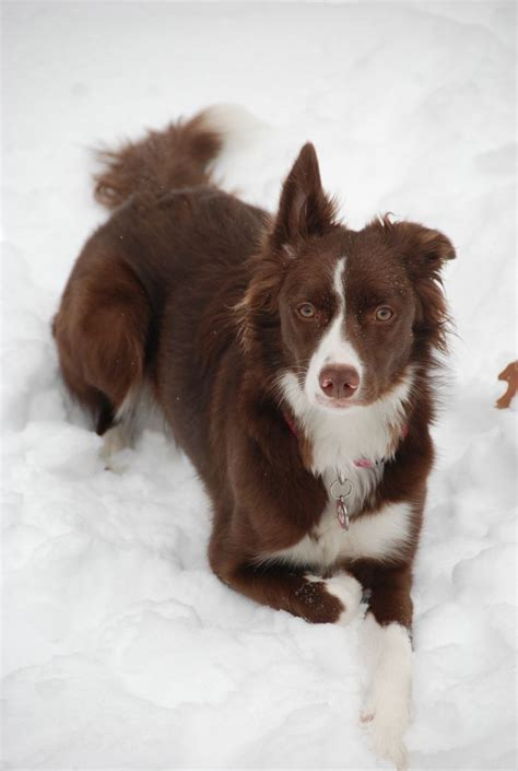 brown border collie puppies chocolate border collie dog1dayinterest border collies the o jays and