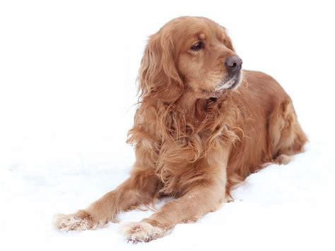 golden cocker retriever golden cocker retriever wallpapers pics animal literature