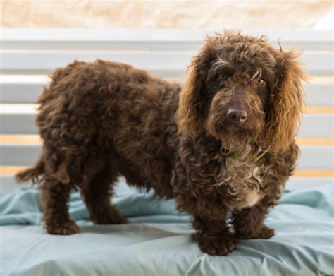 rottweiler mixed with poodle 16 outrageously adorable poodle mixes you need to see
