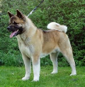 kelvin black: American Akita dog