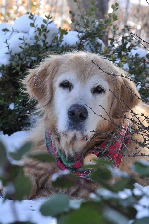 golden retriever rescue rockies the benefits of adopting a senior stilwell