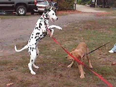 are golden retrievers vicious golden the vicious golden retriever vs dalmation