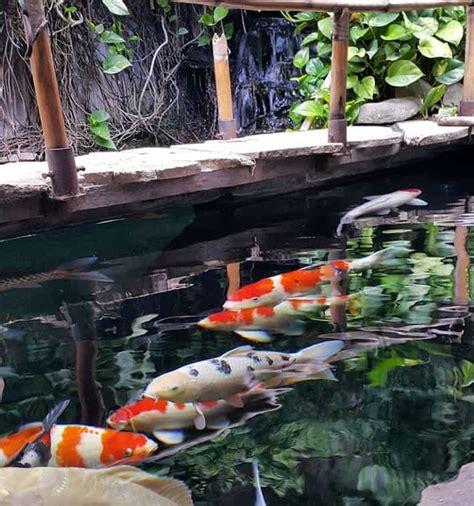 Bibit Ikan Koi Terbaik cara membuat kolam ikan koi minimalis terbaik jualkoi id