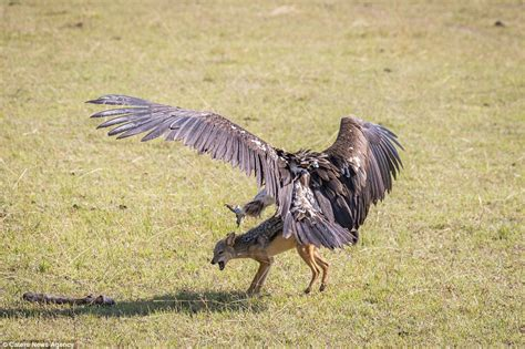 vulture loses out to a jackal as the animals tussle over a