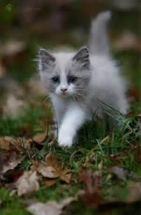 gray kitten via juliane meyer animals cats and