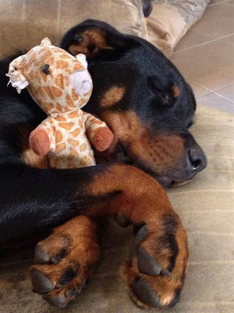 rottweiler toys 12 things that make rottweilers happy