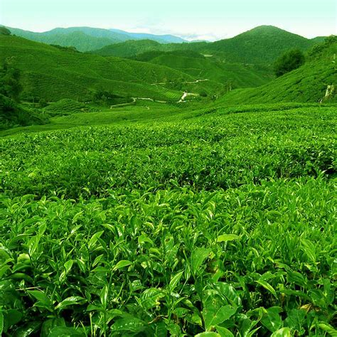 Tea Gardens by 1000 Images About Tea Gardens On Gardens