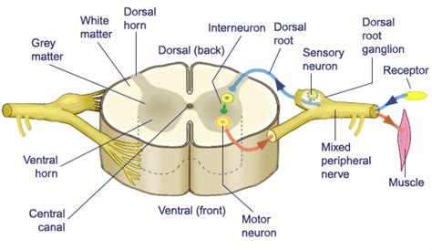 cross sectional view of the spinal cord nervous system notes