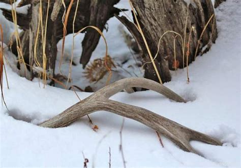 Animals That Shed Antlers by Colorado Parks And Wildlife Ethical Shed Protects