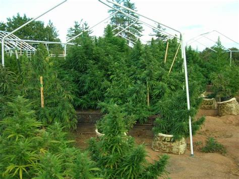 6310 cherry tree california 2011 grow journals outdoor strain hunters forum