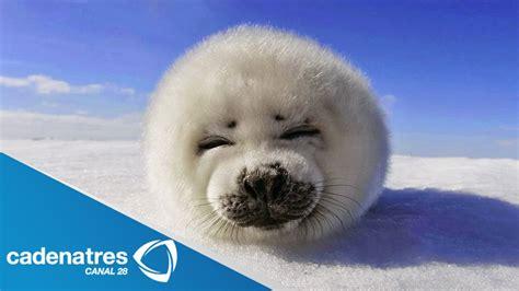 imagenes de focas blancas conmovedor video de una foca reci 233 n nacida video youtube