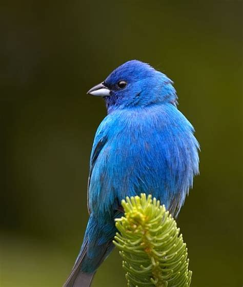 How To Attract Indigo Buntings To Your Backyard by Attracting And Feeding Birds In Your Yard Indigo Bunting