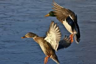 mixed start to 2015 duck shooting season view from bell block
