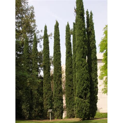 200mm cupressus green pencil bunnings warehouse