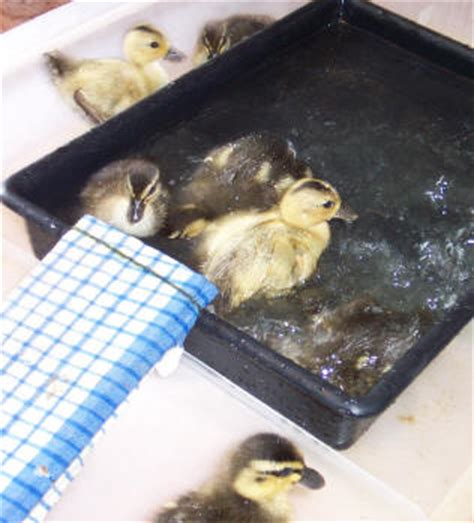Heat Lamp For Ducklings by Handy Hints For Raising Ducklings