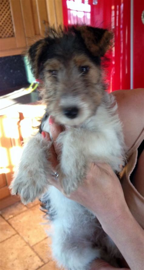 wire hair fox terrier puppies for sale wire hair fox terriers pups for sale rhayader powys pets4homes