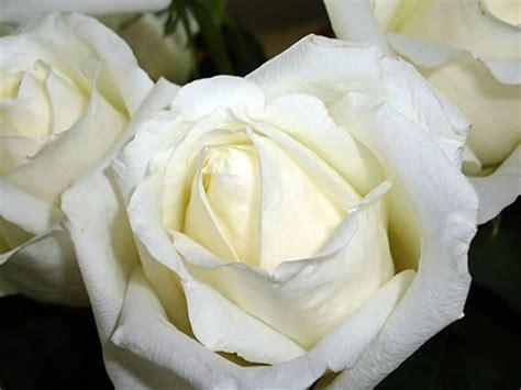 imagenes de rosas blancas hermosas imagui images et photos avec tag roses blanches bonnesimages