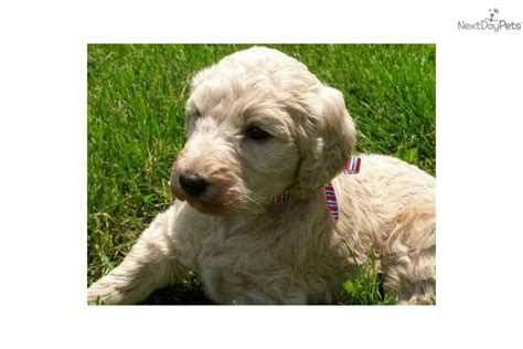 goldendoodle puppy for sale in michigan meet a goldendoodle puppy for sale for