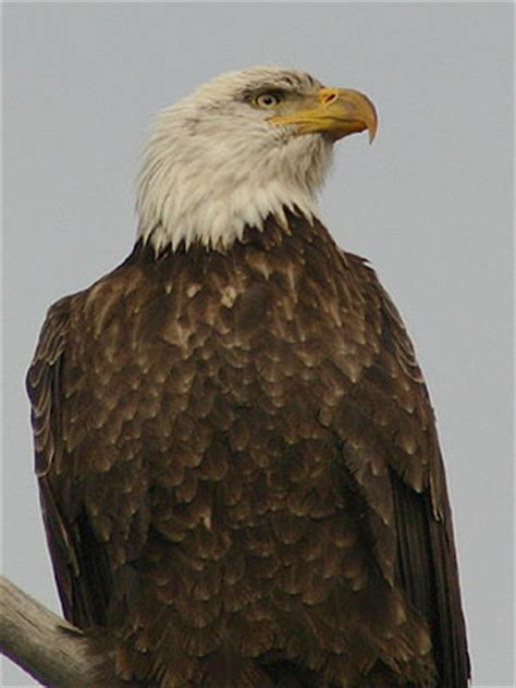 backyard bird identification owls hawks osprey vulture