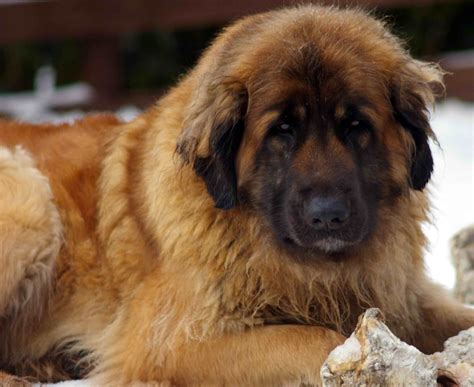 leonberger puppies for adoption beautiful leonberger puppies for sale rossendale lancashire pets4homes