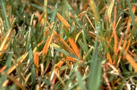 how to get rid of grass rust fungus how to recognize and prevent fungal rust disease