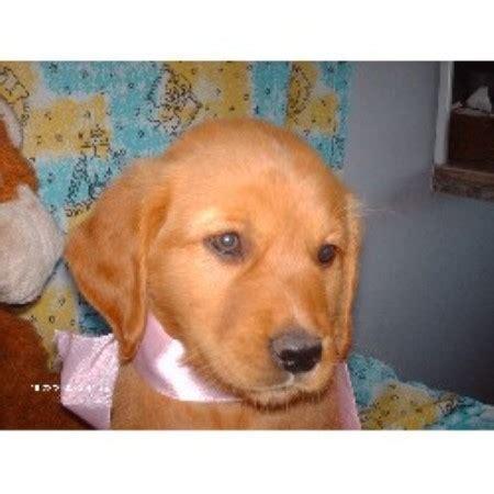 oklahoma golden retriever breeders bateman s golden s golden retriever breeder in cyril