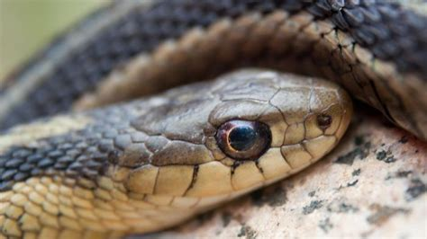 Garter Snake How To Get Rid Of How Do You Get Rid Of Garter Snakes Reference