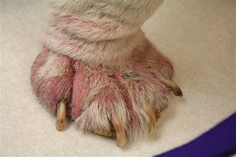 demodicosis in dogs what is demodicosis breeds picture