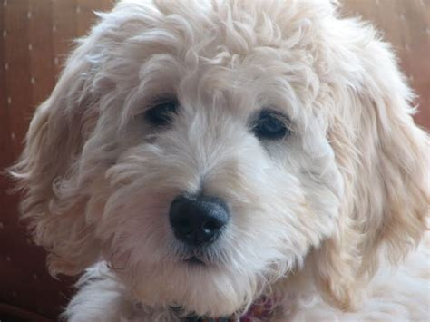 doodle puppies for sale los angeles 1000 ideas about labradoodle puppies for sale on