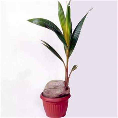 pianta di cocco da appartamento artefiori cocco pianta perfetta per gli arredi moderni