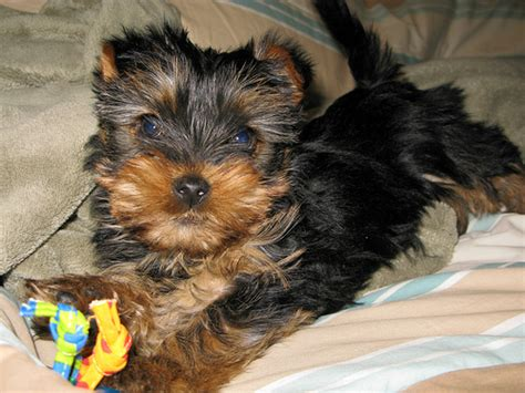 how to care for yorkie puppy yorkie puppy basic care yorkiepassion