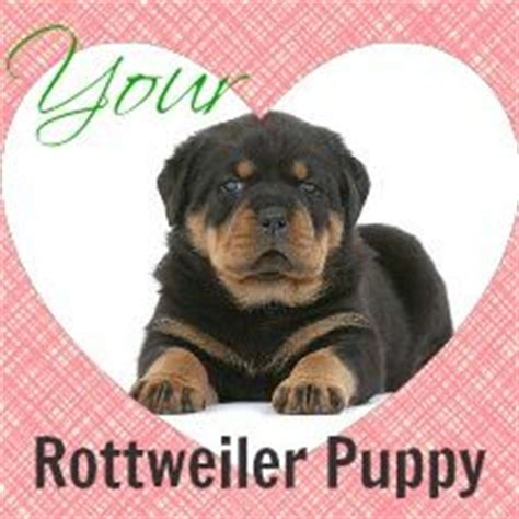 rottweiler growth chart rottweiler puppies rottweilers and growth charts on