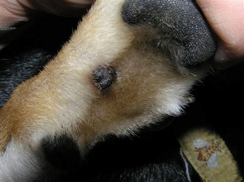 tumor on paw tumor on paw www pixshark images galleries with a bite