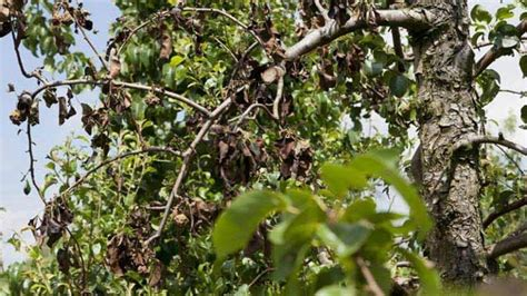 Krankheiten An Apfelb Umen 3792 sch 228 dlinge am apfelbaum sch dlinge am apfelbaum erkennen