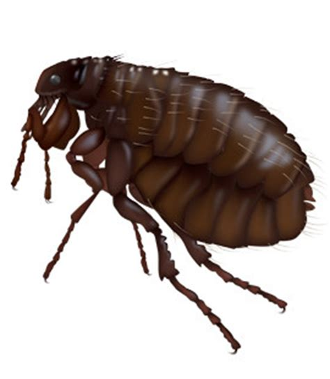 what color are fleas common household pests in fleas fleas