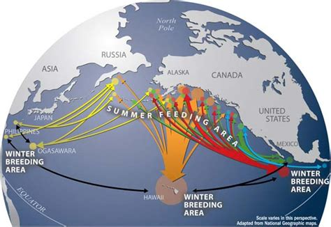 migration pattern of blue whale humpback whale 101