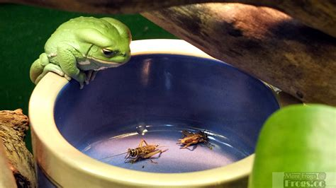 what do backyard frogs eat what do frogs eat learn what to feed your frogs