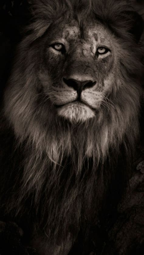 iphone wallpaper hd lion lion with black background iphone 5 best wallpapers free