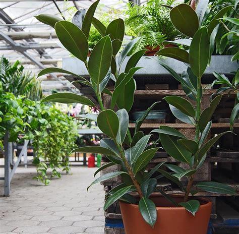 piante di interno piante da appartamento foto e nomi piante per interni