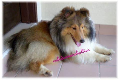 sheepdog puppies for adoption shetland sheepdog puppies for sale adoption in singapore adpost classifieds