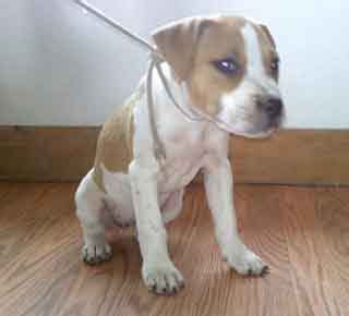 white pitbull puppies for sale pitbull puppies for sale pit puppies for sale pit bull puppies mcnamara pit