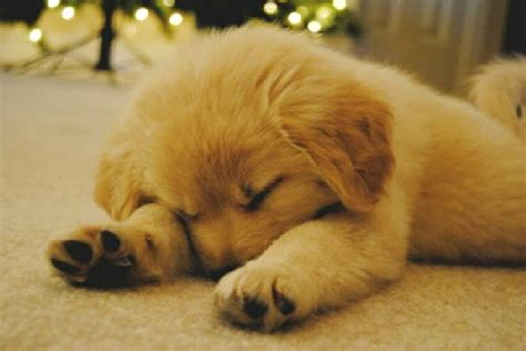 golden retriever puppies sleeping golden retriever sleeping picture doglers