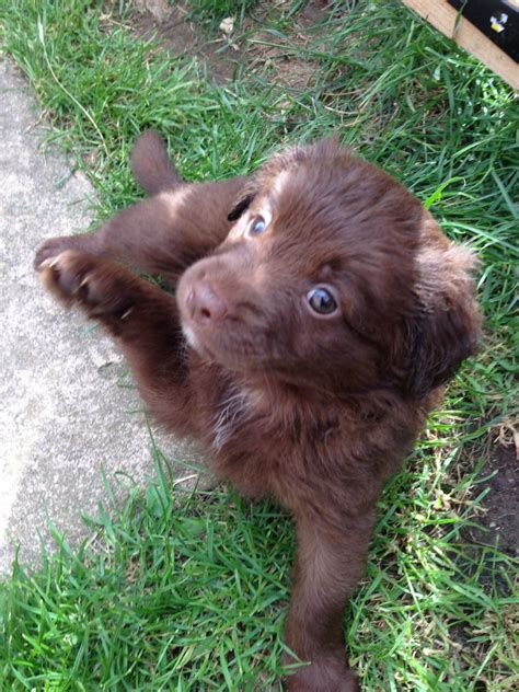 pomeranian spaniel pomeranian x springer spaniel pups only 2 left poole dorset pets4homes