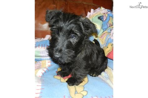 terrier puppies for sale near me scottish terrier puppies for sale near me