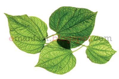 Dan Manfaat Sho Nr manfaat daun sirih dan cara meramunya